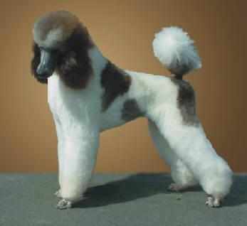 Parti Color Poodles
